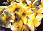 Image of Plumeria Flowers